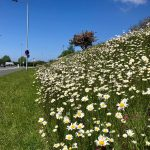 Scores of wildflower meadows to be created in Denbighshire